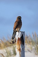 Red Kestrel (Rooivalk)